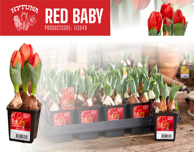 Tulip Red Baby