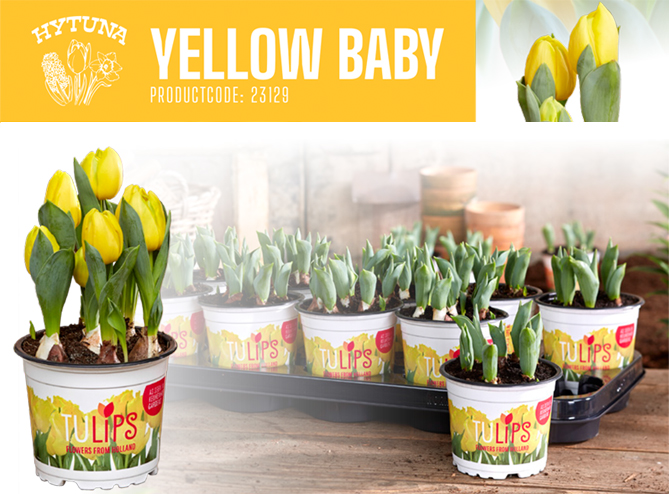 Tulips Yellow Baby